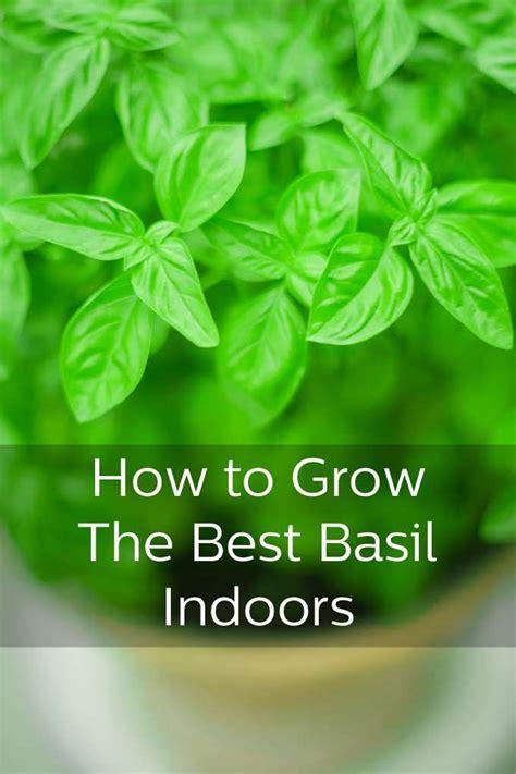 tips  growing basil   window ledge window