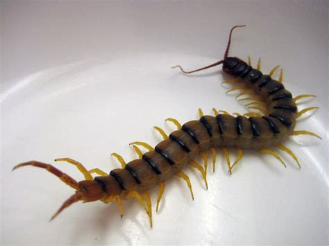 centipede in house centipede d 233 finition what is