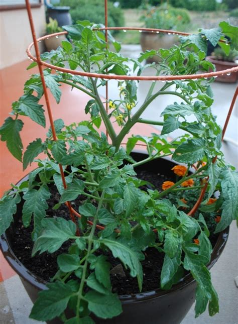 Growing Tomatoes In Planters by Harvest To Table Gardening In A Drought