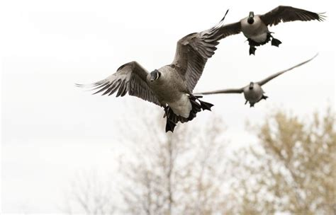 goose boat dog best 25 duck hunting tattoos ideas on pinterest duck
