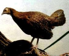 Ayam Kung Asli 0 9 1 0 Kg 1 saung ayam hias bogor ayam hutan hijau gallus various