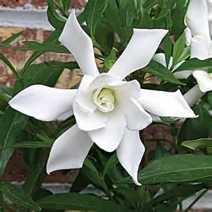 Gardenia Jasminoides Frostproof Gardenia Frostproof Gardenia Jasminoides