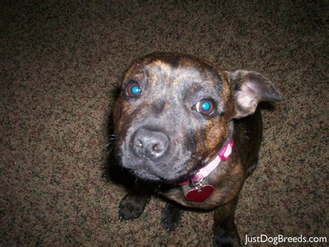 Staffy Shedding by Marla Staffordshire Bull Terrier Breeds