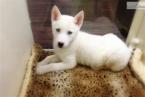 husky puppies for sale ny husky siberian husky puppy for sale near new york city new york e40fa0b2 4871