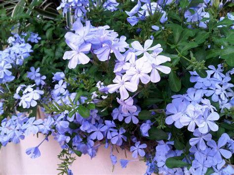 tanaman renek berbunga  tahan panas  cuaca