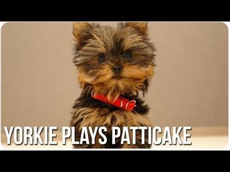 can yorkies eat nuts 57 best images about misa mini yorkie on you much yorkie and 10