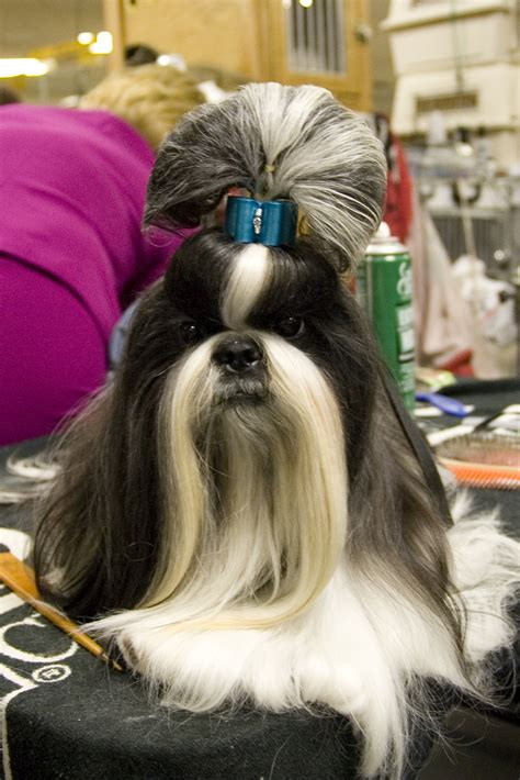 shih tzu hair types wowza 5 hilarious hairstyles rover
