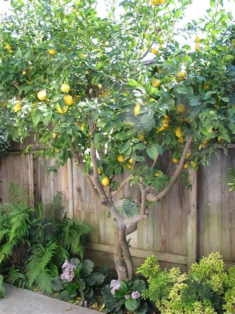 backyard lemon tree lemon tree would love to live somewhere warm so i could