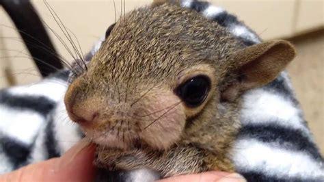 puscam grey squirrel  cheek abscess youtube