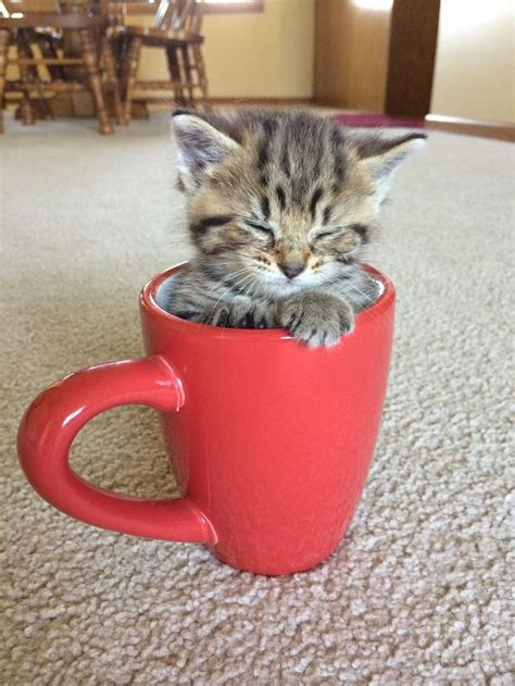 best tea cup best 25 teacup kitten ideas on teacup cats