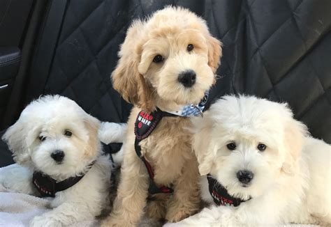 mini goldendoodles florida goldendoodle puppies by moss creek goldendoodles in
