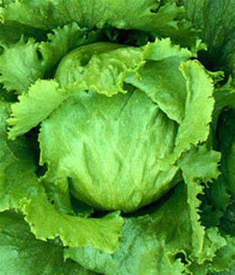 Iceberg Lettuce Elsa New Day Seed nelesa gardening lettuce iceberg lactuca vegetable
