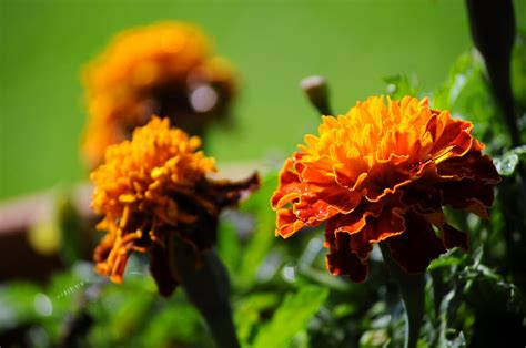 marigold color free photo marigold flowers colors garden free image
