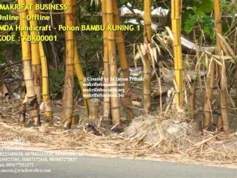 Rebung Bambu Kuning Asli bambu kuning net doovi