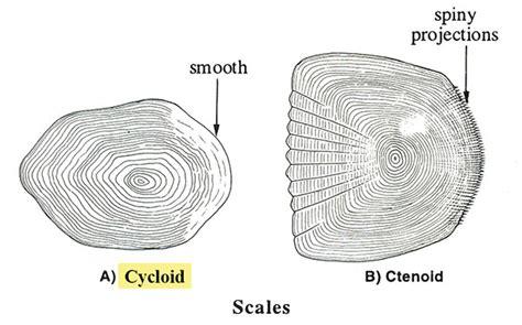 cycloid diagram fishbase glossary