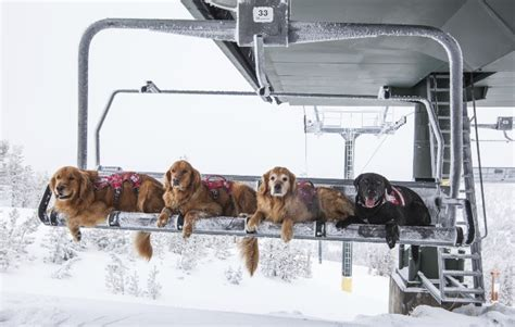 dogs on skis skiing s unsung heroes ski patrol rescue dogs skis