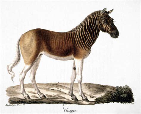 Animal Shower Curtain Quagga Equus Quagga By Granger