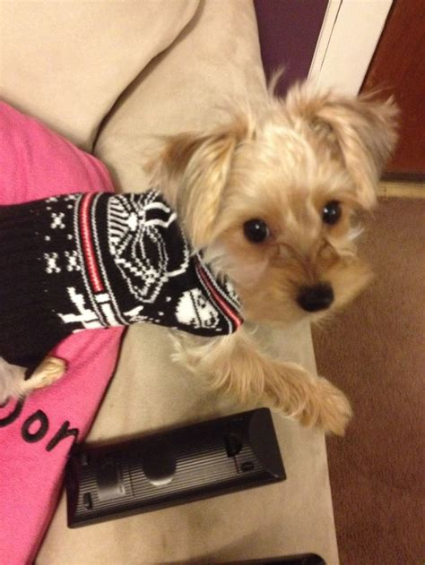yorkie poo costumes 76 best images about yorkie poos on puppy images poodles and puppys