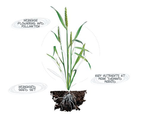 wheat seed diagram wheat plant parts diagram image collections how to guide