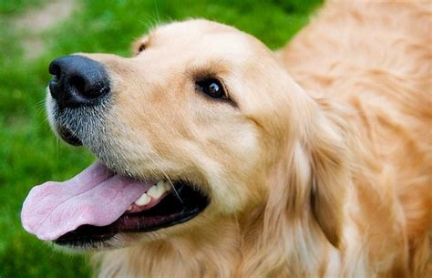 golden retriever whiskers the golden retriever by ellaphotography ca