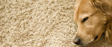 best rugs for dogs best pet odor and stain removal cleaning indianapolis indy carpet