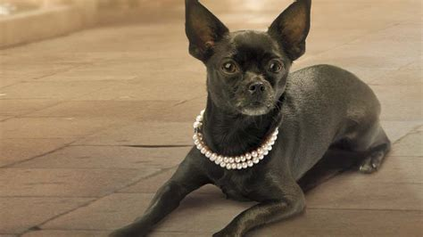 necklace for dogs jewelry for dogs accessorizing your