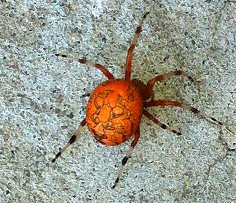 marbled orbweaver aka pumpkin spider what s that bug - Pumpkin Spider