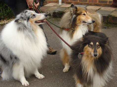 Smooth Collie Shedding by Collie Grooming Groom Collie Done Jpg Collie Grooming Grooming Gallery In The Pink