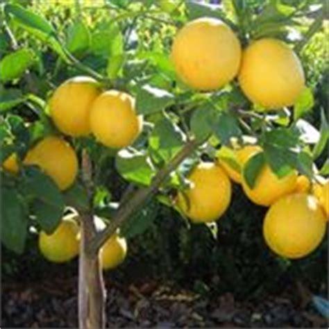 periodo potatura limone in vaso limoni in vaso potatura limoni in vaso potatura