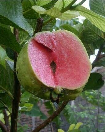 Bibit Jambu Sukun Merah tanaman jambu sukun merah tanpa biji anget anget