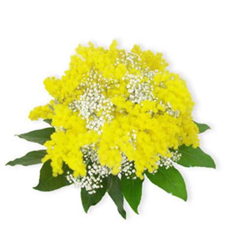 immagini fiori mimosa faxiflora mimosa bouquet di mimosa