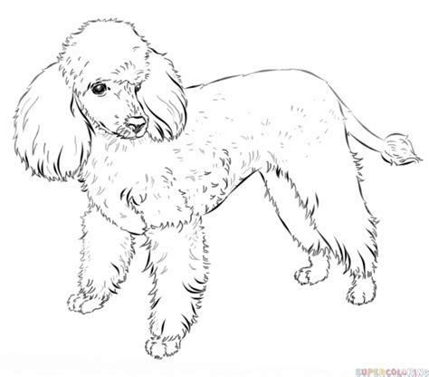 how to draw a poodle poodle sketch made easy