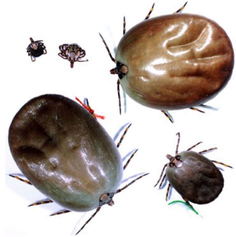 can ticks kill dogs affects ticks on dogs and cats proterra