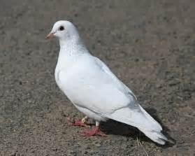 homing pigeons white homing pigeon photo jim arterburn photos at pbase