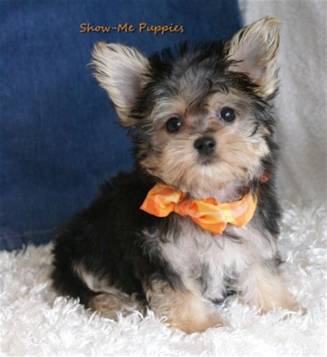 show me a picture of puppies miniature maltipoo breeds picture