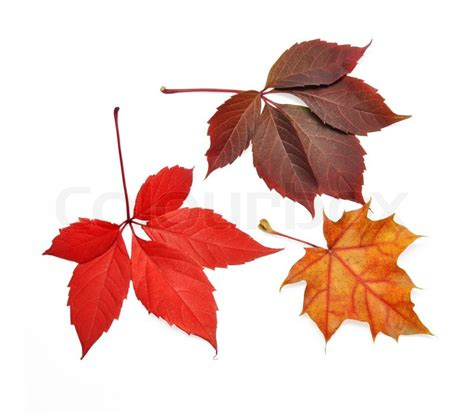 Isolated Autumn Leaves On White Background With Clipping Fall Leaves On White Background