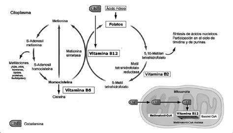 alimenti contengono vitamina b12 e acido folico figura 4 metabolismo de los folatos 225 cido f 243 lico y