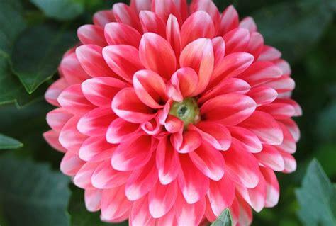 la flor de dalia laberinto la flor de dalia laberinto la flor de dalia laberinto