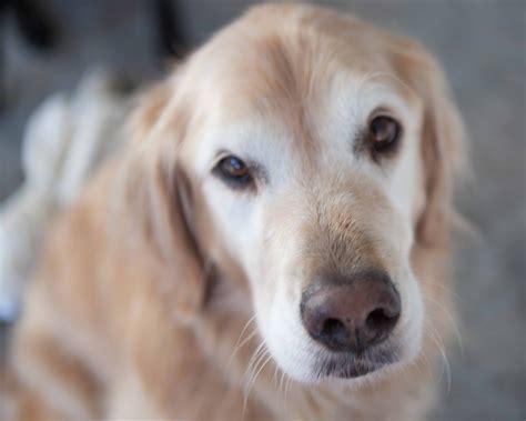 hemangiosarcoma golden retriever canine splenic hemangiosarcoma metropolitan veterinary associates
