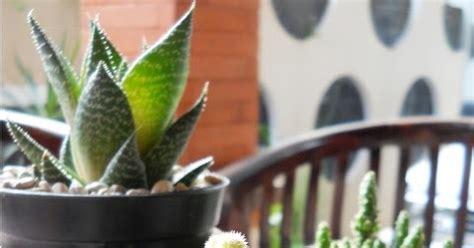 Kaktus Sukulen Hiasan Rumah Souvenir Unik putra garden tanaman kaktus mini unik untuk dekorasi