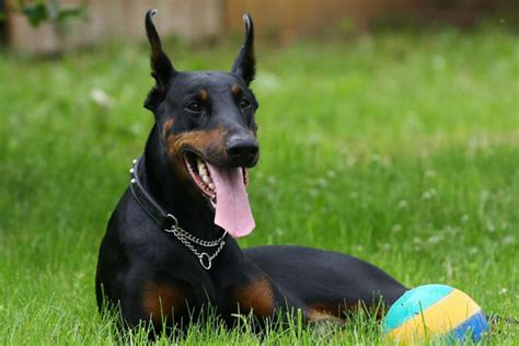doberman puppies for sale in doberman pinscher puppies for sale from reputable breeders
