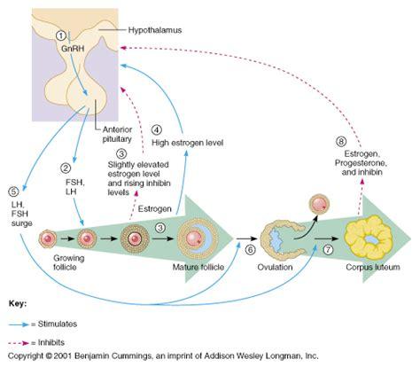 hormone cycle diagram ch27 reproductive hormones