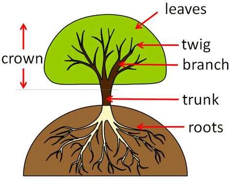 parts of a tree diagram planting diagram for trees planting free engine image