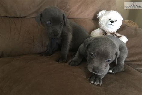 corso puppies for sale in md corso mastiff puppy for sale near baltimore maryland d6388f8f 22d1