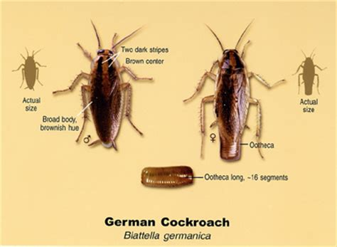 Help My Apartment Is Infested With Cockroaches Roach Problem Here Is What You Need To Safespray