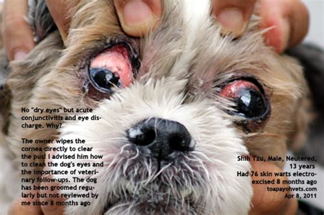 shih tzu skin shih tzu yeast infection ears guide