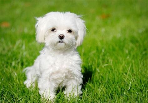 Top Ten Small Dogs That Don T Shed top 10 dogs that don t shed