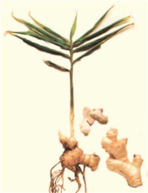 imagenes de jengibre en ingles jengibre zingiber officinale roscoe