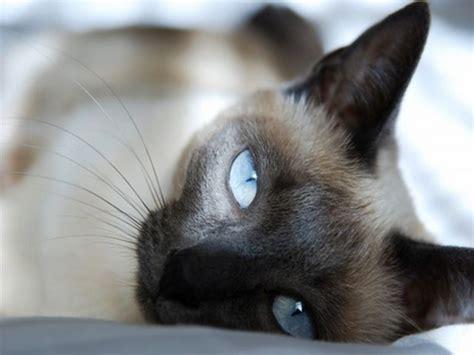 gatto siamese alimentazione siamese