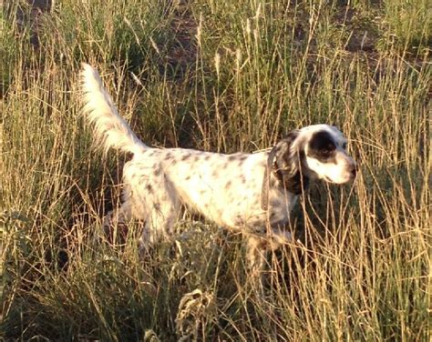 english setter gun dog breeders english setter puppies hunting family dogs